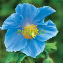 Rare Blue Himalayan Poppy Seeds Hardy Flower 100pcs/lot Ornament Poppy Flower Seed Home Garden Bonsai Flower Plant Free Shipping