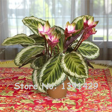 20 Pcs Very Rare Thailand Calathea Flower Seeds, Holiday Peacock Plant, Low Light, High Humidity, Easy to Grow, garden ornaments