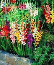 100/bag  Different Perennial Gladiolus Flower Seeds,  Rare Sword Lily Seeds  very beautoful for home garden planting