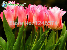 30PCS/bag tulip petals tulip seeds potted indoor and outdoor potted plants free shipping