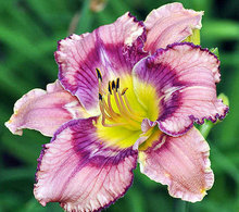 Hybrid Daylily Flowers Seed, Rare Colour Hybrid Hemerocallis Seeds - Get Jiggy Mix Day Lily Seed Packet
