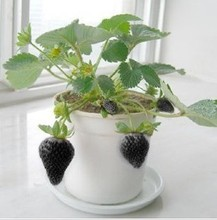 500 PCS Fruit Seeds Black Strawberry Seeds Bonsai Plants Seeds For Home & Garden Pot Fruit and Strawberries(China)