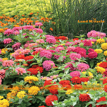 Dreamland Mix Zinnia Flower Seed, 50 Seeds/Pack, Early,Double Blooms,Long-lasting blooms,Compact plants-Land Miracle