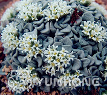100PCS Colorful Meaty Plant Rain Heart Seeds succulent plant seeds Fleshy bonsai seeds Mini Crassula Vo lkensii Pot Flowers Seed