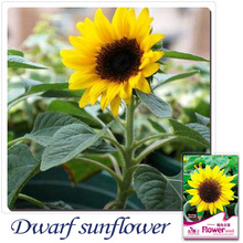 Buy 2 Get 1!(Can accumulate ) 1 Pack 20 Seed JapFlower Low Sunflower Flower Vegetables Seeds A033(China)