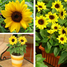 40 pcs / bag mini sunflower seeds Dwarf sunflower seeds sunflower series height 40cm Flower Seeds plant for home garden