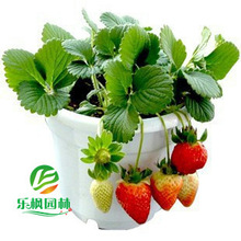 2017 Direct Garden Temperate Seed New Small Meat Juicy Strawberries Beauty Beautiful Favorably About 10cm High 50 Seeds / Pack(China)