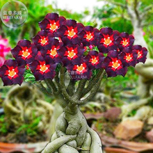 BELLFARM Rare Brown Black Adenium Desert Rose with Fire Red Heart Flower, 2 seeds, bonsai compact single petal flowers E3959(China)