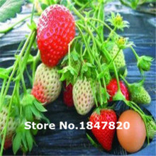 300pcs/24 kinds strawberries seeds white black red yellow green blue pink orange purple Fruit Seeds home plants Free shipping