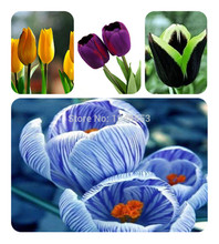 1000 PC 16kinds courtyard high-grade blue striped tulips seeds flower seed, the world's rare bonsai seeds, flowers plant,(China)