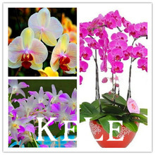 50 PCS 19 Kinds Multiple Color Butterfly Orchid Seeds Balcony Bonsai Seed For DIY Garden Free Shipping,#LSK10B