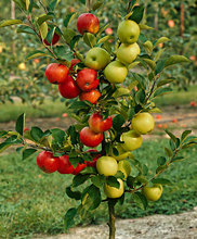 Dwarf Apple Seeds	Organic Fruit  Tree Seeds Home Garden Fruit Plant  ,Can Be Eaten!  30 pcs v010