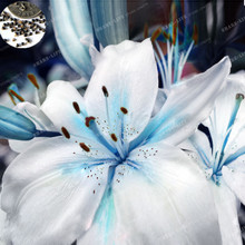 50Pcs/Bag 100% True Mixing Colors Specials Blue Heart Lily Plant Seeds Potted Bonsai Plant Lily Flower Seeds for Home Garden