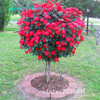 100 Red Rose tree Seeds, DIY Home Garden Potted ,Balcony & Yard Flower Plant Free Shipping New 2016(China (Mainland))