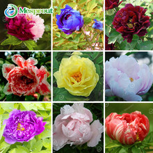 Chinese Suffruticosa Flower Seeds Peony Garden Plants And Garden Blue Green Yellow Red Black White Purple Peony Seeds 10 PCS(China)