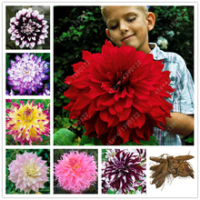 True dahlia bulbs,dahlia flower,(not dahlia seeds),bonsai flower bulbs,Symbolizes courage and lucky,home garden plant-2 bulbs