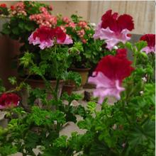free ship 40 seeds   Real Geranium Seeds, Perennial Flower Seeds bonsai plant , for garden flower potted planters ,