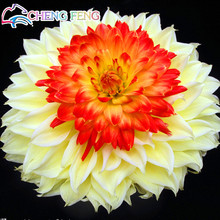100pcs Yellow Orange And Red Dahlia Seeds Charming Chinese Beautiful Flower Seeds Bonsai Plants For Home Garden Free Shipping