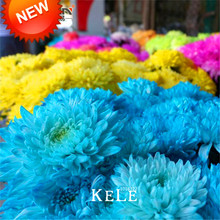Promotion!100 Seeds/Lot Rare Blue Chrysanthemum Seeds Beautiful Morifolium Seeds DIY Gardening Flower Potted Plant,#25XJ87