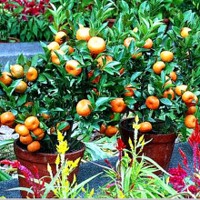 Fruit seeds Orange Tree Seeds DWARF MANDARIN MEDICINAL CITRUS Sweet Fruit 30 Seeds Q054(China)