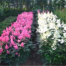 New product selling Chinese Astilbe Astilbe Chinensis 10pcs shipping Xi cathode hardy perennial herb