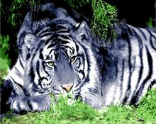 White tiger Oil Painting pictures By Numbers Digital Pictures paris building Coloring by hand Unique Gift Home Decoration