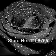 Promotion! 300pcs 100% Original Black Rose Seeds China Rare seeds of Rose Flowers by Hongkong post