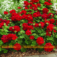 LAND MIRACLE Giant Red Rose Geranium Seeds, 5 Seeds/Pack, Perennial Garden Flowers Pelargonium Seeds Bonsai Potted Plant(China)