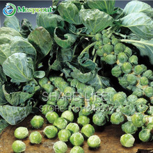 Free Shipping 100 Brussels Sprouts Little Baby Cabbage seeds, Nutritious , Rich in VC, Fast growing, Productive, hardy