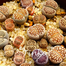20pcs Lithops Fulleri Seeds Lithop Succulents Seeds Plants Bonsai Flower Seeds Indoor Plant DIY Home Garden Free Shipping(China)