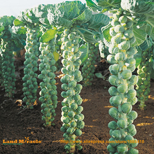 Heirloom Thousand-headed Cabbage Seed, 50 Seeds/Pack, Mini Brussels Sprouts Vegetable Seed-Land Miracle