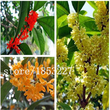 Big sale 5PCS / bag orange Osmanthus fragrans seeds, flower seeds for DIY home garden Free shipping