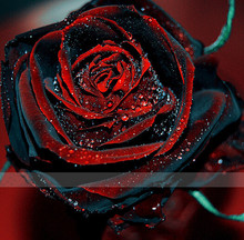 Free shipping 50 Red and black Rose Seeds ,rare color ,rich aroma, DIY Home Garden Rose Plant crazy promotion-S0101