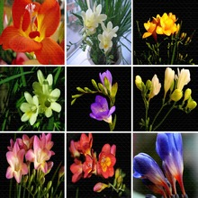 2pcs/lot Flower Bulbs Home Decoration true Plants Bulbs Pastorale Style 9 Heads Common Freesia Popular Pink Green Leaves