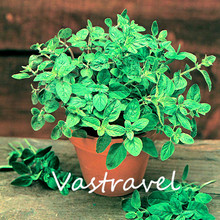 Oregano 500 Seeds / Bag Origanum vulgare Mint  Easy to Grow from Seeds Hardy Perennial Aromatic  Delicious Cooking Herb