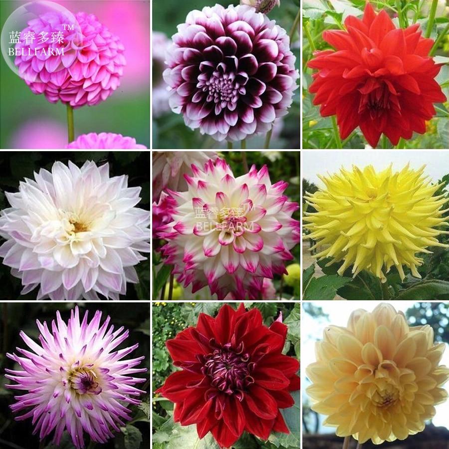 Us 2 Bellfarm Dahlia Mixed 9 Types Perennial Flower Seeds 100