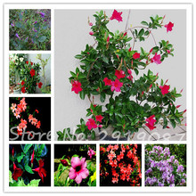 100pcs Mandevilla Sanderi Seeds  potted balcony, planting seasons,Balcony Bonsai Flower Potted Plant Home Garden Free Shipping