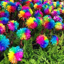 100 Novel rainbow chrysanthemum seeds bonsai flower,Home gardening DIY, free shipping!