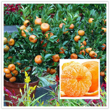 Orange semillas frío-resistente-sweet mandarin orange tree (Citrus reticulata) 20 unids oro chino bonsai semillas de la fruta para el jardín