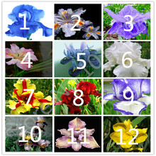 50PC high quality iris seeds, garden, road, garden green flower plant yellow iris seed(China)