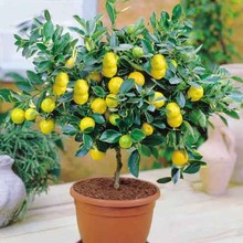 2017 Lemon Seeds 50 Pcs/pack Rushed Hot Sale Temperate Perennial Aries for Tree Bonsai Fruit Seed for Home Garden(China)