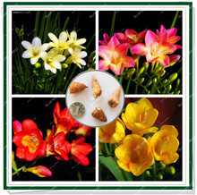 True Freesia flower bulbs not seeds,easy care,blooming in winter and spring,bonsai flower for home&garden planting 3 bulbs/pack