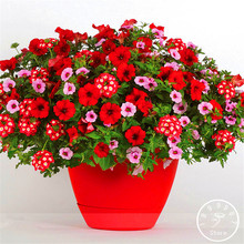 Promotion!Park Glamorous Girl Mixed Garden Petunia Seeds,100 Pcs/Pack,Lipstick Candy Hearts and Feminine Beauty,#BRNEBU