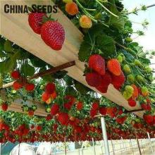 50 Seed /pack Four Seasons Potted Strawberry Seeds Perennial Results Balcony Flower Seeds Fruits And Vegetables Bonsai Diy Palnt
