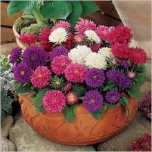 rare flower aster seeds CALLISTEPHUS CHINENSIS stunning mixed color flower seeds for home garden decoration 50/bag J41