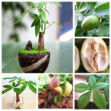 Pachira Macrocarpa Seeds 100% True Bonsai Tree Seeds Whip Pachira For DIY Home Garden Household Items 1 Pcs