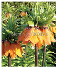 Hot Sale.30Seeds/Pack.Potted Perenniall Flower Seeds Aurora Fritillaria.DIY Home Garden Seeds,(China)