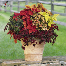 Coleus seeds Rare Coleus blumei Rainbow Mix Color Flower Seeds for Home Garden Indoor bonsai plants Coleus boleus seeds50pcs/bag