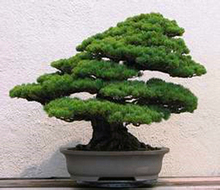 Millennium Plants ,30 seeds/pack Five-Leaved Pine Tree Seeds Potted Landscape Five Needle Pine Bonsai Miniascape Seeds