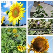 20 pcs sunflower seeds giant sunflower rare flower seeds for home garden planting sunflower seed
